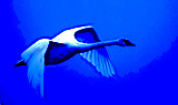 Flying Solo much as a Swan reveals your character