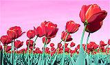 Tulips change the sky pink